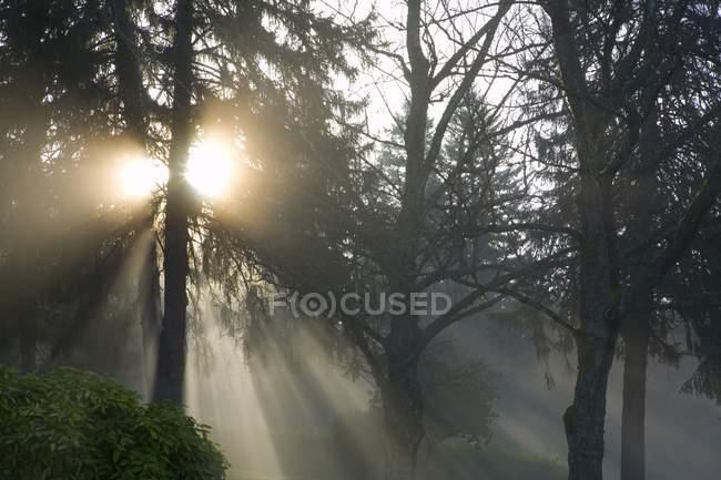 Árvores em nevoeiro, Willamette Valley — Fotografia de Stock
