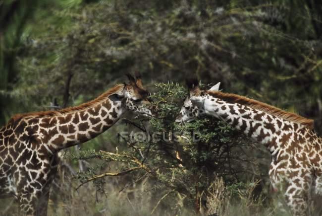 Girafes se nourrissant sur la branche — Photo de stock