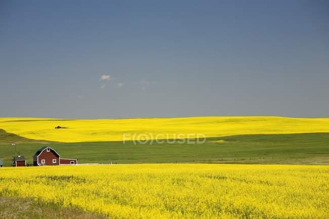 Campos de Canola Florecientes - foto de stock