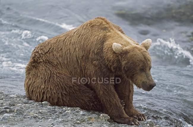 Ours brun Alaska — Photo de stock