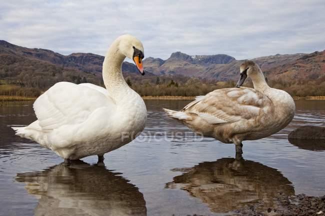 Cisnes en el lago con telón de fondo de montaña - foto de stock