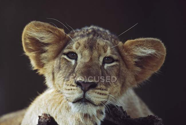 Lion Cub Laying On Branch — Stock Photo