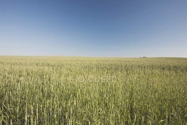 Campo di grano verde — Foto stock