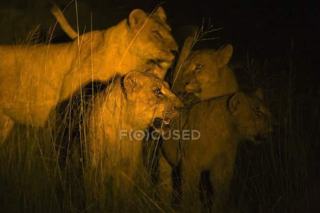 Leones en la noche en hierba alta - foto de stock