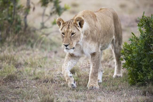 Lionne marchant sur le sol — Photo de stock