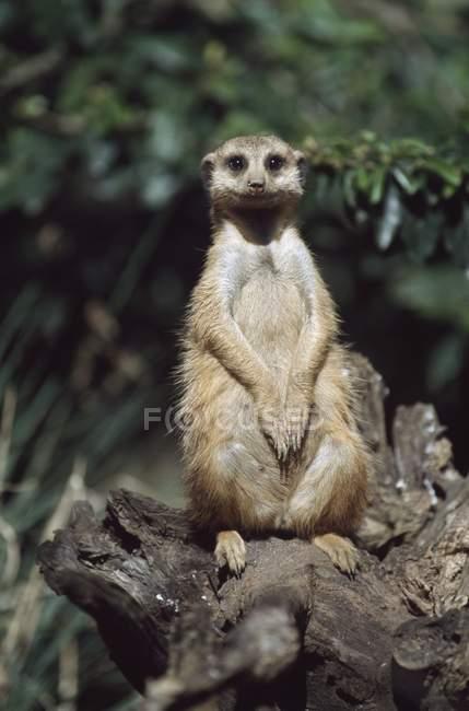 Meerkat seduto su ceppo — Foto stock