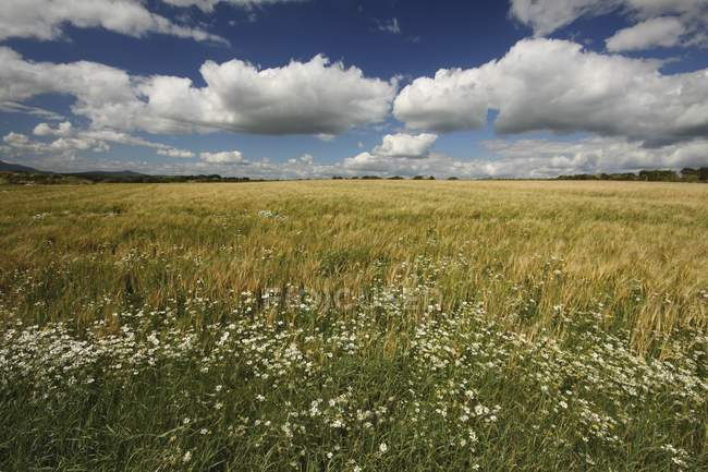 Wheat Field with flowers — Stock Photo