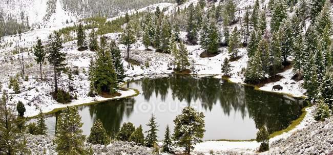 Зубри прогулянки біля озера малий — стокове фото