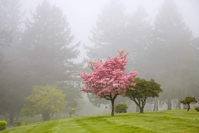 Деревья Догвуда в тумане — стоковое фото