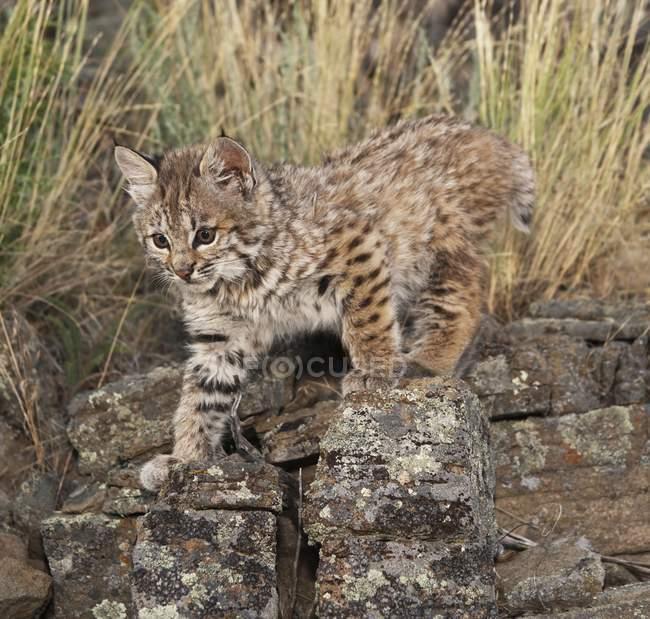 Bobcat Kitten esplora la roccia — Foto stock