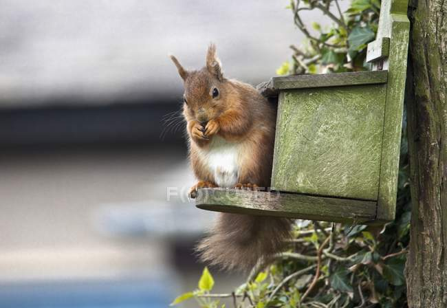 Red Squirrel Sitting — Stock Photo