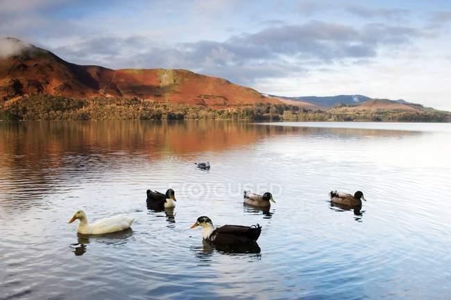 Patos nadando en el agua - foto de stock