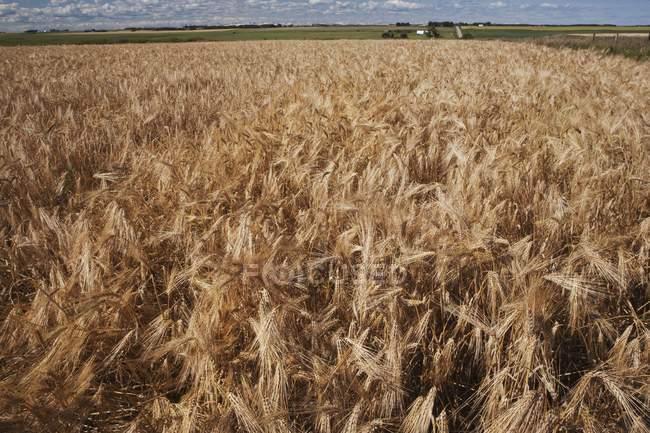 Extérieur de champ de blé mûr — Photo de stock