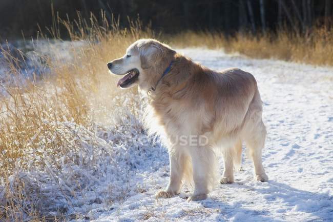 Golden retriever sur neige — Photo de stock