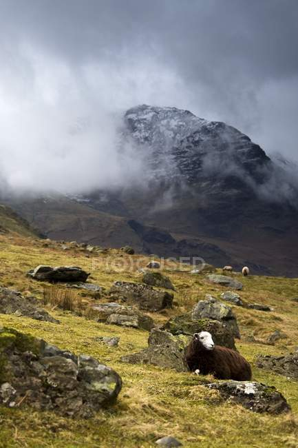 Herdwick Descanso de ovejas - foto de stock