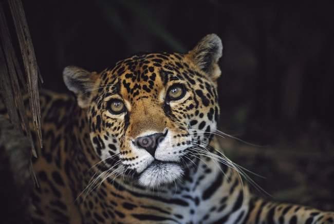 Jaguar mirando a cámara - foto de stock