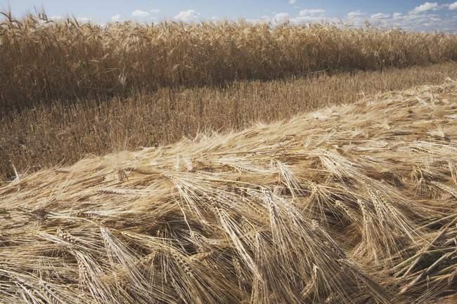 Cut Ripe Wheat — Stock Photo