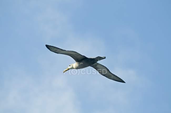 Albatros ondeados en vuelo - foto de stock