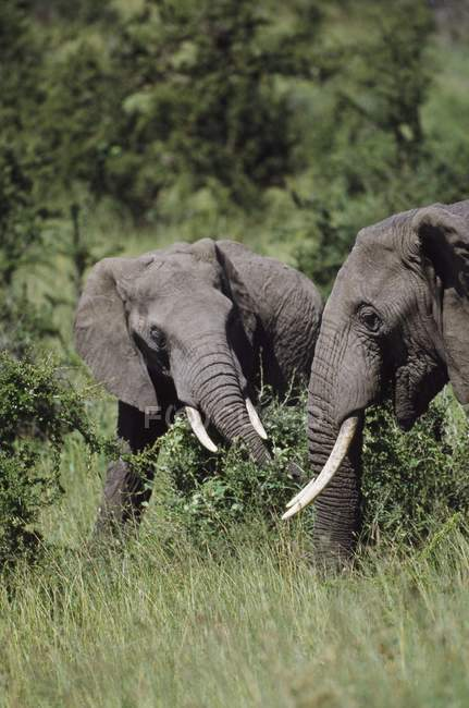 African Bush Elephants — Stock Photo