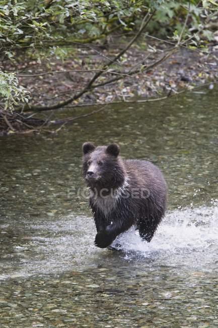 Jovem urso — Fotografia de Stock