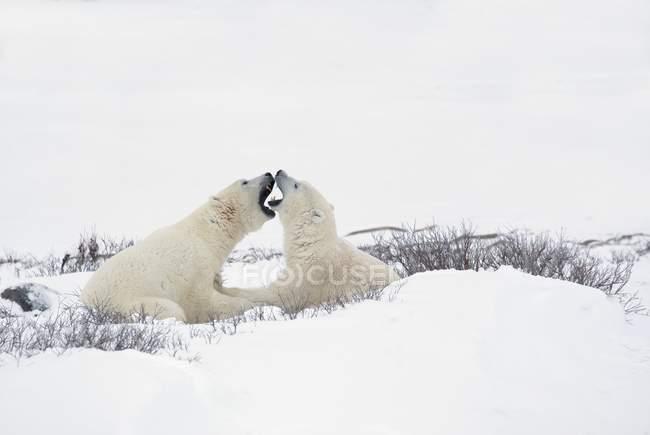 Dos osos polares - foto de stock