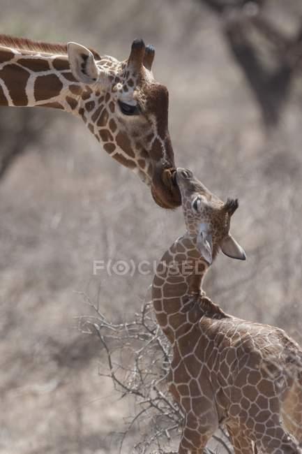 Giraffe toccando il naso da naso — Foto stock
