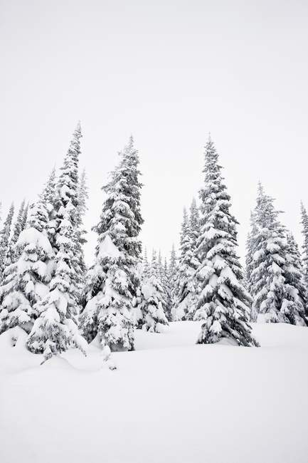 Snow Capped Trees In Winter — Stock Photo