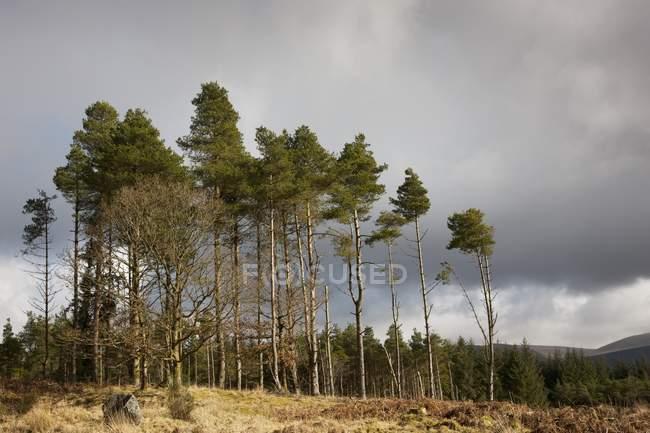 Árvores altas sob céu nublado — Fotografia de Stock