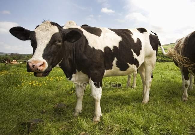 Bestiame di Holstein-Friesian in campo — Foto stock