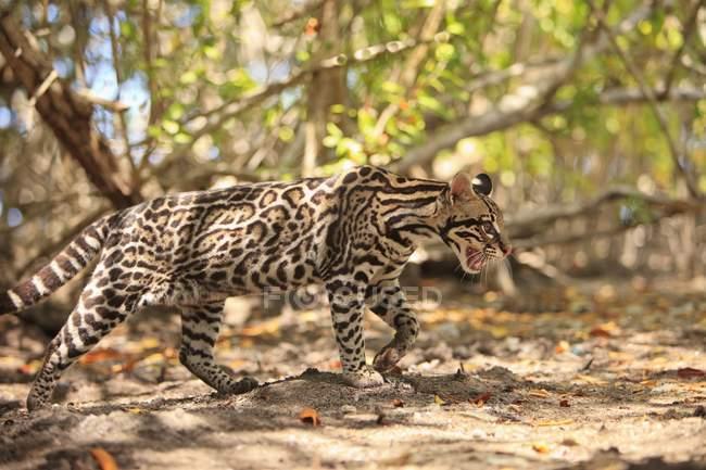 Jaguar caminando sobre el pasto - foto de stock