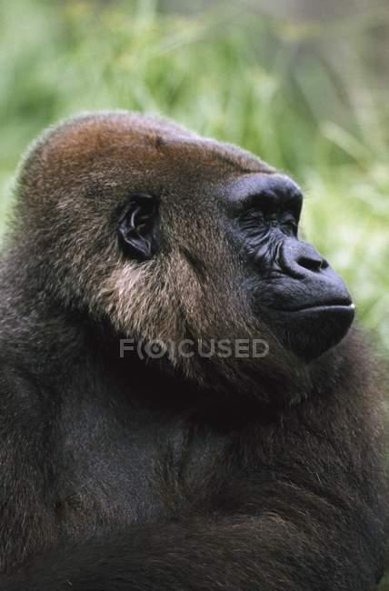 Profilo di Gorilla Ritratto — Foto stock