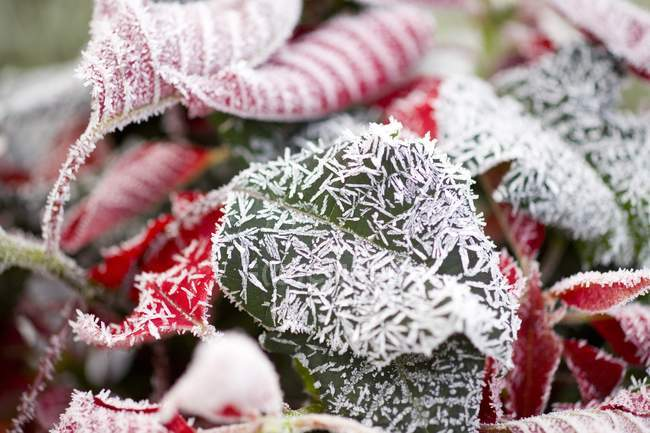 Winter Frost On Poinsettia Leaves — Stock Photo