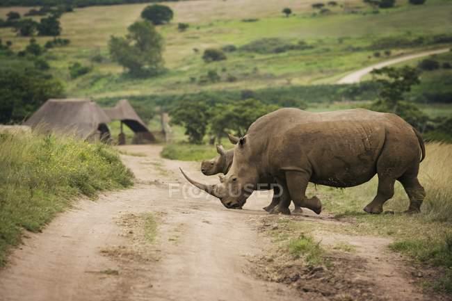 Rhinoceros walking on dirt ground — Stock Photo