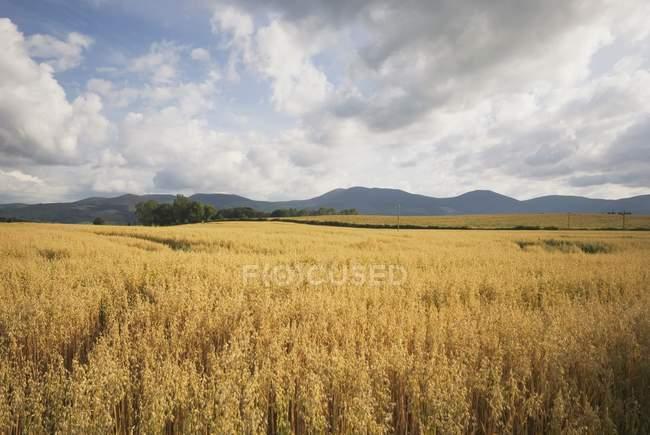 Пшеничное поле с холмами — стоковое фото