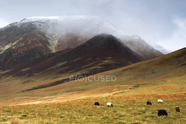 Pastoreo de ovejas en pastos - foto de stock