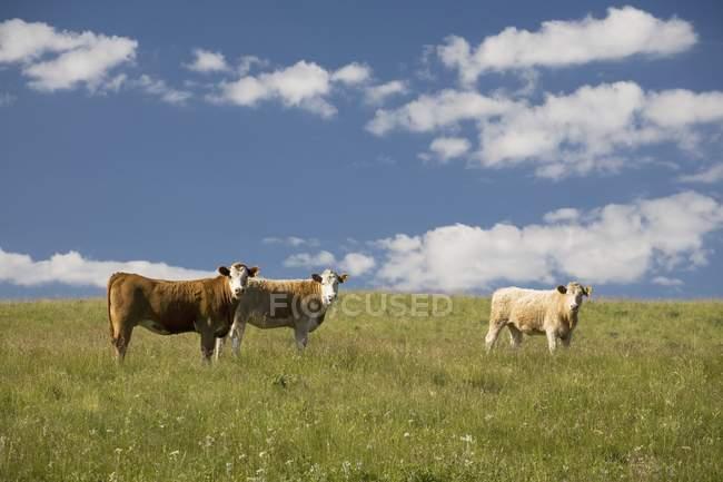Великої рогатої худоби на пасовищі з Синє небо — стокове фото