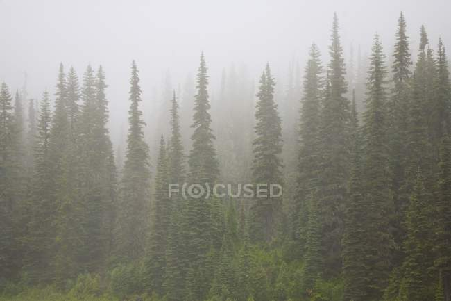 Foggy Forest, Mount Rainier National Park — Stock Photo