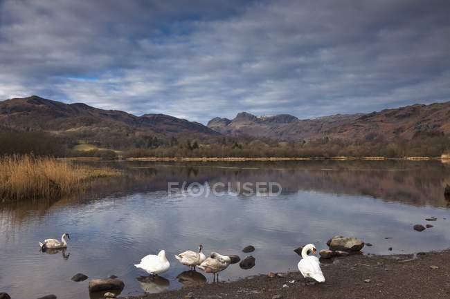 Cygnes sur le lac avec toile de fond de montagne — Photo de stock