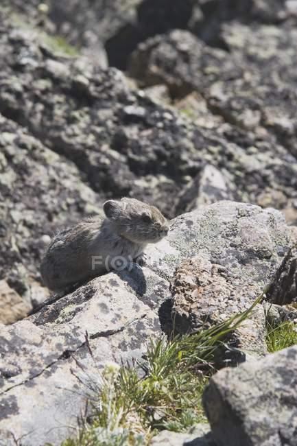Піка, сидячи на скелі — стокове фото