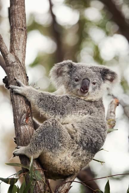 Ours Koala dans l'arbre — Photo de stock