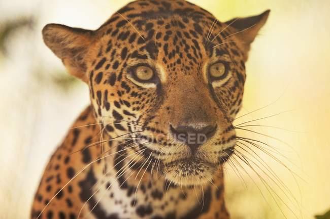 Retrato de Jaguar al aire libre - foto de stock