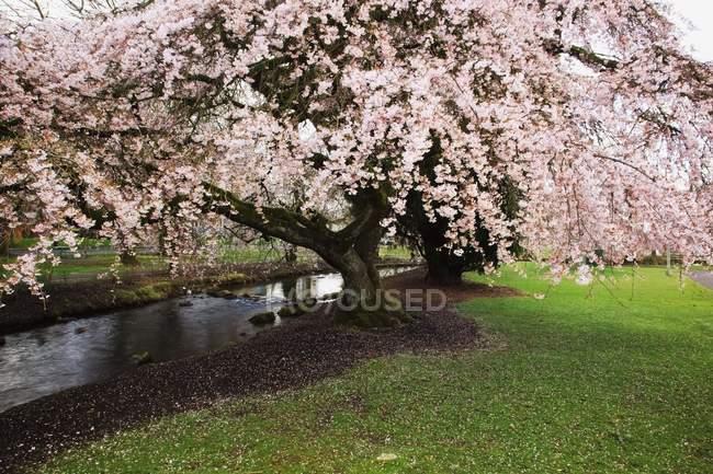 Fioriture sugli alberi in primavera — Foto stock