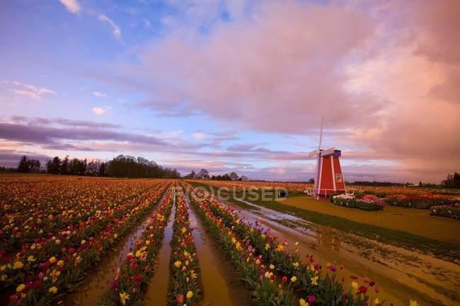 Тюльпан ферма на поле — стоковое фото