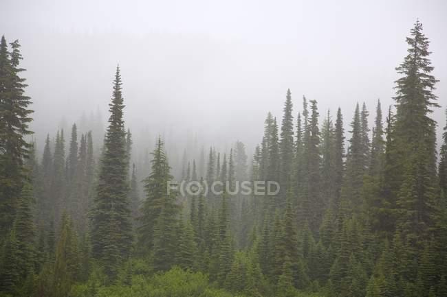 Ліс в туман, Mount Rainier Національний парк — стокове фото