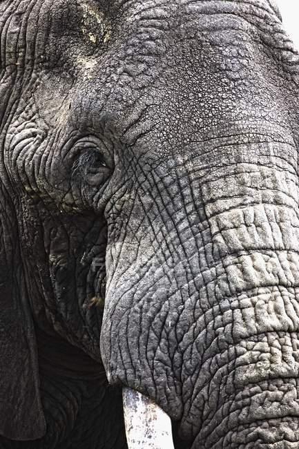 Африканский слон — стоковое фото