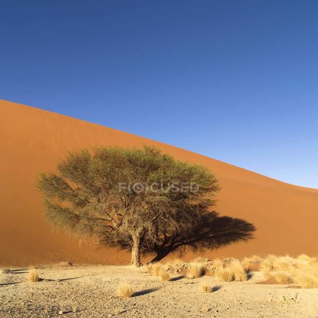 Дерево в пустыне, Намибия — стоковое фото