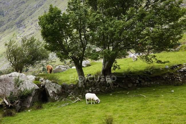 Moutons paissant dans la vallée — Photo de stock