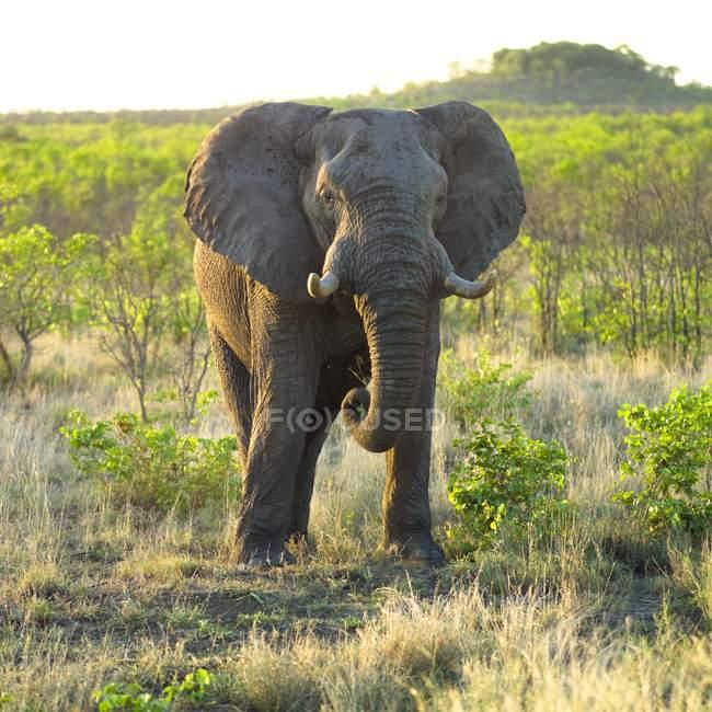 Éléphant debout sur l'herbe — Photo de stock