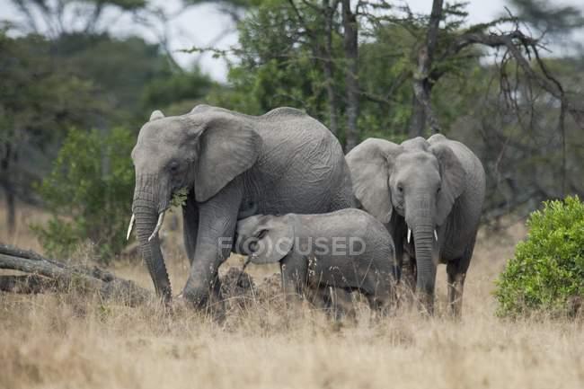 Éléphants dans la prairie avec herbe séchée — Photo de stock