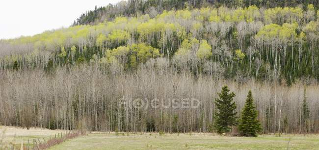 Two Evergreen Trees — Stock Photo